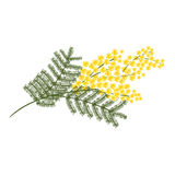 Sprig of mimosa flower  on white. Background Stock Photos