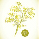 Sprig of Mimosa, Spring Background. Floral Greeting Card Royalty Free Stock Photos