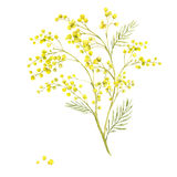 Sprig of Mimosa, Spring Watercolor Background. Floral Greeting Card Royalty Free Stock Photo