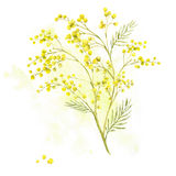 Sprig of Mimosa, Spring Watercolor Background Royalty Free Stock Images