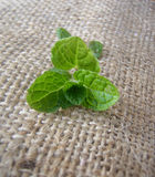Sprig of mint. Sprig of green mint leaves on a sackcloth  background Royalty Free Stock Photos