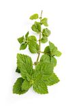 Sprig of mint Royalty Free Stock Photo