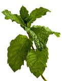 Sprig of mint. A sprig of green mint photographed against a plain white background Stock Photos