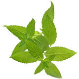 Sprig of mint close up isolated Stock Image