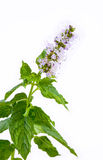 Sprig of Mint with Flower Royalty Free Stock Image