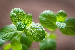 Sprig of mint. Sprig of fresh mint on the brown background Royalty Free Stock Image