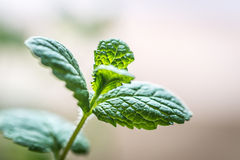 Sprig of mint. Sprig of fresh mint on the light background Royalty Free Stock Photography
