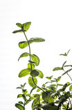 Sprig of mint. Sprig of fresh mint on the light background Royalty Free Stock Photo