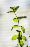 Sprig of mint. Sprig of fresh mint on the light background Royalty Free Stock Images