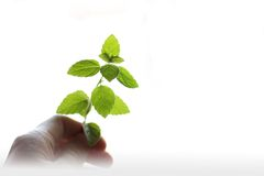A Sprig of mint in hand Royalty Free Stock Photography