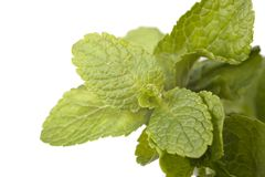 Sprig of mint Royalty Free Stock Photos