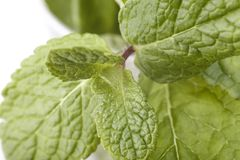 Sprig of mint. Isolated on a white background Royalty Free Stock Image