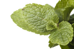 Sprig of mint. Isolated on a white background Stock Images