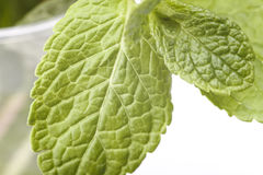 Sprig of mint. Isolated on a white background Royalty Free Stock Photo