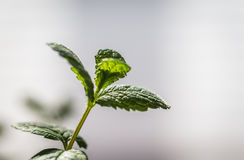 Sprig of mint. On the light background Stock Photos