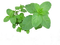 Sprig of mint. Without vase Royalty Free Stock Photography