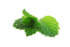 A sprig of mint Stock Photography