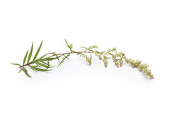 Sprig of Mugwort Royalty Free Stock Photo