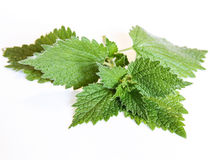 Sprig nettle Stock Photo