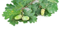 Sprig of oak acorns Royalty Free Stock Photo
