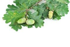 Sprig of oak acorns Royalty Free Stock Photo