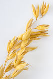 Sprig of oats on  white background vertically Stock Photography