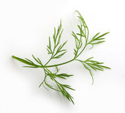 Sprig Of Green Dill Stock Photo