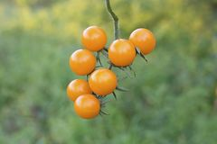 Free Sprig Of Wild Tomatoes Close-up. Tomatoes On A Background Of Green Grass. Royalty Free Stock Image - 158381276