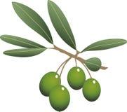 Sprig of olive. Sprig of green olive and green leaves stock illustration
