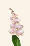 Sprig of orchid flowers in delicate pale pink on a soft pastel background Stock Image