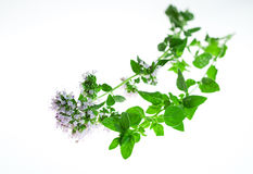 Sprig of oregano Stock Image