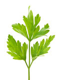 Sprig of parsley Royalty Free Stock Photo