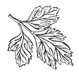 A sprig of parsley drawn contour. A sprig of parsley drawn with a pencil Stock Image