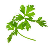 Sprig of parsley Royalty Free Stock Images