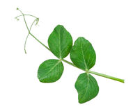 Sprig of pea leaves Royalty Free Stock Photo