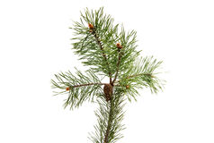 Sprig of pine with cones isolated Royalty Free Stock Photography