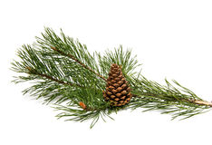 Sprig of pine with cones isolated Stock Photos