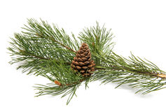 Sprig of pine with cones isolated Royalty Free Stock Photo