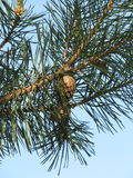 Sprig of pine with cones. On light blue background Stock Photo