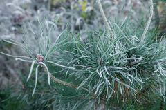 Sprig pine covered with rime Royalty Free Stock Photo