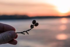 Sprig with pine knobs in hand. Sprig with pine cones in hand at sunset by the lake Royalty Free Stock Images