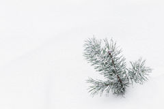 Sprig of pine in the snow. Branch of a coniferous tree with needles and snow Royalty Free Stock Images