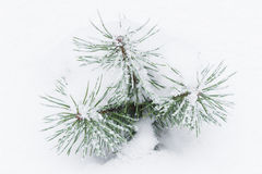 Sprig of pine in the snow. Branch of a coniferous tree with needles and snow Royalty Free Stock Photo