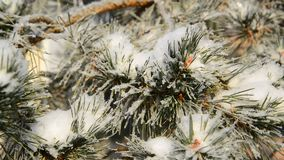 Sprig of pine trees covered with snow and frost stock footage