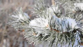 Sprig of pine trees covered with snow and frost stock video