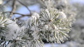 Sprig of pine trees covered with snow and frost stock video footage