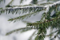 Sprig of pine trees Stock Image