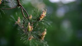 Sprig of pine with young cones in spring stock video