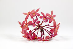 Sprig of Pink Flowers from the Epidendrum Orchid Stock Photo