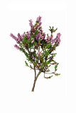 Sprig of purple heather - isolated Royalty Free Stock Image